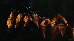 a last wave of autumn '17 (Lutz Koch) Tags: laub leaves foliage herbst autumn welk withered wilted nature natur vergangen braun schwarz brown black ast branch elkaypics lutzkoch wald forest dunkel dark golden licht light
