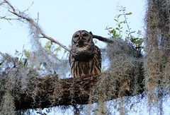 BARRED OWL (Ed Rizer) Tags: barred owl hooter