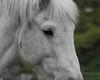 """White Horse 2 (Say """"Wasabi"""") Tags: horse horses white whitehorse whitehorses olympus m43 40150 animal wildlife nature equine botley hampshire"""