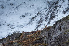 Peek a Boo (jasty78) Tags: reddeer ambodach glencoe winter snow mountain scotland nikond7200 tamron150600mm 350mm