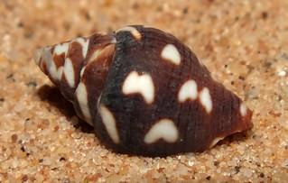 Lightning dove snail (Pictocolumbella ocellata)