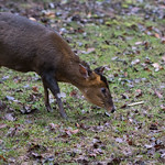 Indian muntjac thumbnail