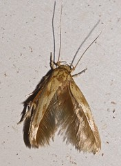 Flaxen yellow and tan and cream Concealer moth curved horn moth Dichomeris sp Gelechiidae Airlie Beach P1270906 (Steve & Alison1) Tags: olive green tan cream concealer moth curved horn dichomeris sp gelechiidae airlie beach