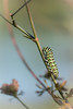 """Encore une montée"" (regisfiacre) Tags: papilio machaon caterpillar chenille larve larva vert green orange grün noir black schwartz papillon butterfly schmetterling farfalle insect insecte insekt bug bugs nature sauvage wild wildlife macro macrophoto macrophotography macrophotographie canon 5div mark iv 4 plein format full frame sigma 150mm apo ex dg os hsm moselle france"