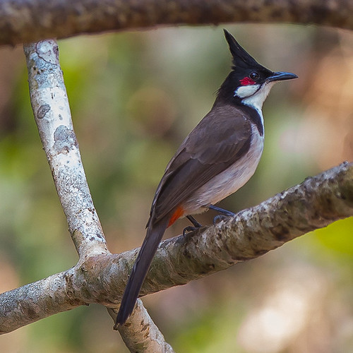 Red-whiskered bulbul - Maybe the most beautiful Bulbul