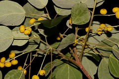 Mallotus discolor (andreas lambrianides) Tags: mallotusdiscolor euphorbiaceae whitekamala yellowkamala australianflora australiannativeplants australianrainforests australianrainforestplants australianrainforestfruitsandseeds yellowfruit qldrfp nswrfp dryarf moistarf alternatekf entirekf arffs yellowarffs arfp qrfp subtropicalarf littoralarf