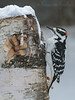 Hairy Woodpecker (KvonK) Tags: hairy woodpecker bird nature backyardbirding throughthewindow january 2018 kvonk