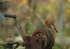 Robin on rusty kog (1) (Simon Dell Photography) Tags: obin rusty old tool winch simon dell photography sheffield s12 shirebrook valley winter autumn nature wildlife wild animal england english country garden rspb