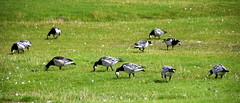 Barnacle Geese (Worthing Wanderer) Tags: norfolk summer sunny farmland coast seaside nelson holkham burnham hero august