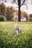 _little guys I (Joana Rieck) Tags: mushroom fungus pilze autumn fall herbst netherlands maastricht grass gras green outdoor canon 600d 50mm field bokeh dew tau waterdrop wassertropfen natur nature natural light