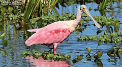 I pink, therefore I am (Shannon Rose O'Shea) Tags: shannonroseoshea shannonosheawildlifephotography shannonoshea shannon roseatespoonbill plataleaajaja bird beak bill pink feathers wings water bluewater redeyes orlandowetlandspark christmas florida flickr wwwflickrcomphotosshannonroseoshea nature wildlife waterfowl art photo photography photograph camera colorful outdoors outdoor canon canoneos80d canon80d eos80d 80d canon100400mm14556lisiiusm reflections reflection leaves waterlettuce plants throughherlens