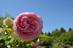 Provins : la roseraie (CpaKmoi) Tags: france seineetmarne provins roseraie rose