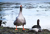 I'm not amused!! (rotraud_71) Tags: salzburg leopoldskronerweiher goose birds water winter ice