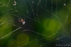 (umijin) Tags: araneae argyrodesargentatus argyrodinae arthropoda chelicerata guahan guam kleptoparasitespider latteheights mangilao silvercombfootedspider silverdewdropspider tanglewebspider territoryofguam theridiidae usa animal arthropod chelicerate spider