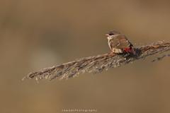 Red avadavat ( Strawberry Finch ) (Jawad_Ahmad) Tags: nature naturephotography naturelover beautyofnature beautiful colors feathers red redavadavat perch bokeh feed sialkot jawadsphotography pakistan flicker
