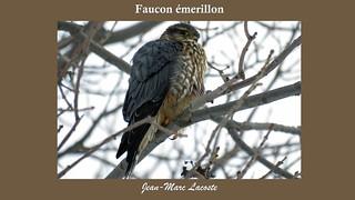 Faucon émerillon, 10 janvier 2017 _____ Merlin