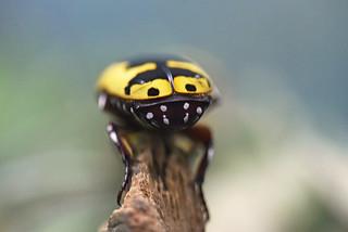 žutotrbi voćni kornjaš (Pachnoda flaviventris / Yellow-bellied Fruit Beetle / Gelbbäuchiger Rosenkäfer)