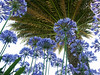 Agapanthus - Isles of Scilly (Alan Yeodal) Tags: agapanthus isles scilly