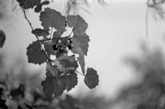Muscadine (macromary) Tags: leicaflexsl leica leitz leicaflex slr primelens vintage camera manual film bw blackandwhite florida nature fomapan rodinal macro 60mm elmarit monotone highridgescrubnaturalarea preserve palmbeachcounty naturepreserve berries plant nativeplant