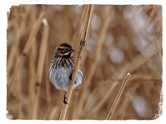 Repicatalons - Escribano palustre - Common reed bunting - Emberiza schoeniclus (aurearamon) Tags: repicatalons commonreedbunting escribanopalustre emberizaschoeniclus animal aves ave birds bird pájaros ocells olympus em5 micro43 leica100400f463