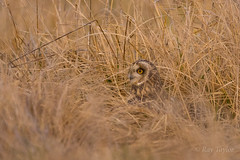 Hiding in the long grass (Bondy Taylor) Tags: bop hunting longgrass shortearedowl stairring wildlife bird feathers nature wild wiltshire wings