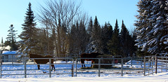 Horses in winter (pegase1972) Tags: horse cheval animal quebec québec qc canada mauricie winter hiver neige snow