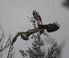 Whitefish bald eagle 1_13_2018_-7 (grischer) Tags: bald eagles nikon d5 200500 whitefish mt winter raptor