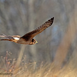 Northern Harrier thumbnail