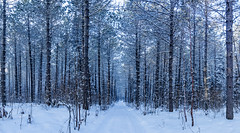 Lost Forty Panorama (jelietawalinski) Tags: forest lostfortypanorama mn nature usa landscape trees panorama mndnrsna sna winter minnesota lostforty naturalarea pinetrees