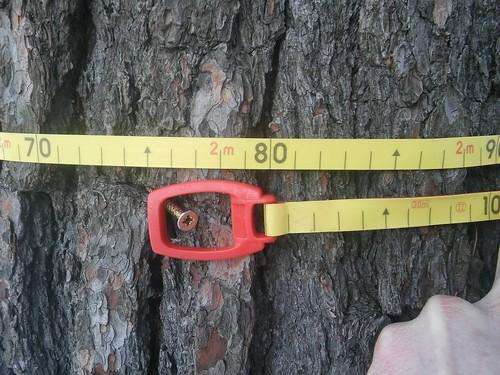 Pinus strobus 20180118_161555