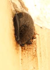 Hardwicke's woolly bat (Kerivoula hardwickii) (OttoB-C) Tags: hardwickes woolly bat kerivoula hardwickii danum borneo