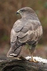 Buzzard... (Gary Neville) Tags: buz buzzard birds birdofprey sony sonyrx10iv rx10iv rx10m4 m4 garyneville