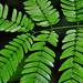 Belmopan -  Young Leaves
