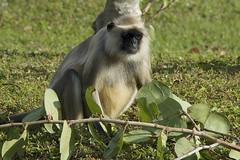 Black-handed Spider Monkey (2-2) (ucumari photography) Tags: ucumariphotography naples florida fl zoo january 2018 animal mammal primate monkey blackhandedspidermonkey atelesgeoffroyi dsc5871