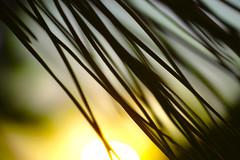 (y.kobayashi) Tags: dp3m foveon sigma macro pinetree dusk snap blur abstract lines