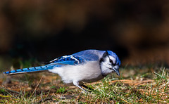 Blue Jay! (PravinDwiwedi) Tags: bluejay johnheinznwr blue birdsofpa birdphotography birdlovers birdsofphily birdsonflickr manualmode naturalbeauty beautiful beautyinnature tamron150to600mm canon5dmark3 backyardbird