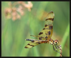 IMG_6075 Avid Gamer 8-20-17 (arkansas traveler) Tags: dragonfly bichos bugs insects nature naturewatcher natureartphotography bokeh bokehlicious zoom telephoto