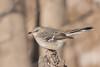 Northern Mockingbird (rdroniuk) Tags: birds smallbirds passerines mockingbird northernmockingbird mimuspolyglottus oiseaux passereaux moqueurpolyglotte