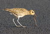 Pacific Golden-Plover with worm (7DC_6809-1) (Eric SF) Tags: pacificgoldenplover goldenplover worm oahu hawaii