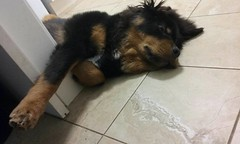 27867112_10215193526898441_5194033738955408736_n (natedetienne) Tags: ash tibetan mastiff puppy tm