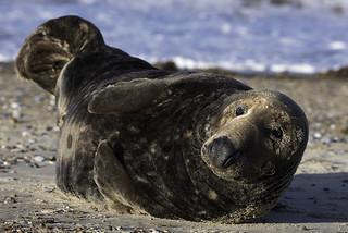 Grey Seal bull (Halichoerus grypus) 02