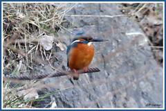 Martin-Pêcheur 180218-01-P (paul.vetter) Tags: oiseau ornithologie ornithology faune animal bird martinpêcheur alcedoatthis eisvogel kingfisher