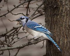 Blue Jay (Cyanocitta cristata) (famasonjr) Tags: bluejaycyanocittacristata nature wild wildlife canon eos 7d usa tennessee backyard winter canonef70300mmf456isiiusm blue feather perch male