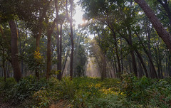 Jungle Light (Padmanabhan Rangarajan) Tags: jungle morning light trees sun filter rays india