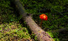 La alfombra es verde para los que a la gala vienen de rojo. (Mafe Ramirez) Tags: hongo naturaleza verde selva maferamirez