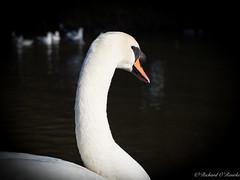 swan portrait (Rourkeor) Tags: swan reflections culzean ayrshire scotland unitedkingdom gb pond olympus omd em1mk2 12100mmpro