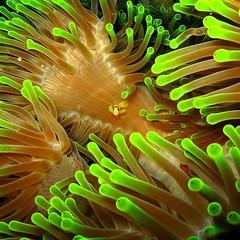 Nemo (wavestreetapparel) Tags: fish conservation clownfish anemone silentworld luxuryfashion coastallife nemo oceanlife sharks stopfinning underwaterphotography macro savetheocean marinelife wavestreet sealife macrophotography scuba diving ocean underwater sea