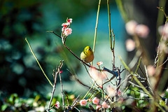 Spring is not So Far (moaan) Tags: bird kobe hyogo japan jp japanesewhiteeye blossom blossoming inblossom ume umeblossom umetree dof depthoffield bokeh bokehphotography canoneos7dmarkii ef70200mmf28lisiiusm utata 2018