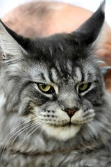 I am your master (Carandoom) Tags: 2017 geneva switzerland animal portrait cat felin show maine coon chat