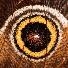 """the """"eye"""" on a butterfly wing (marianna_a.) Tags: p1940384 butterfly wing detail shingles macro extensiontubes lumix mariannaarmata 1in mondays hmm macromondays"""